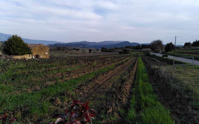 Quand l'herbe est au service de la viticulture.